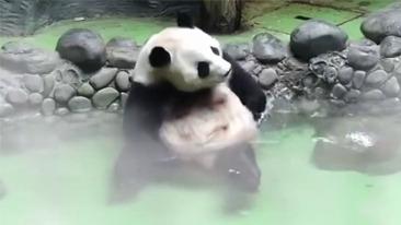 大熊猫泡温泉 舒服的冒泡泡