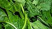 德國最新研究發現 菠菜提取物可助興奮